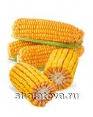 Кукуруза Пионер