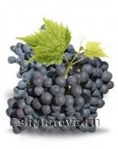 Виноград Молдова (технический) калибр ±0.2 кг/ без упаковки