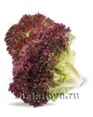 Салат красный Латук