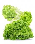 Салат светлый Латук