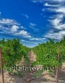 Земля сельхозназначения с Виноградником сорт Мускат цитронный винный 1,87 Га возле А-290